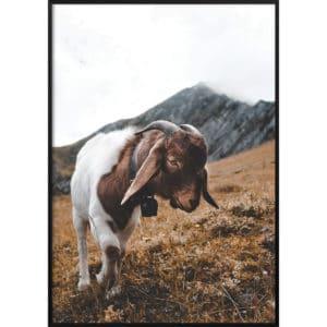 Plakat Kozica górska