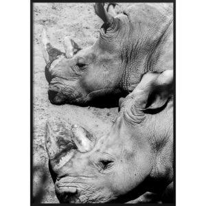 Plakat Nosorożce