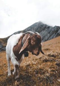 gorska-kozica