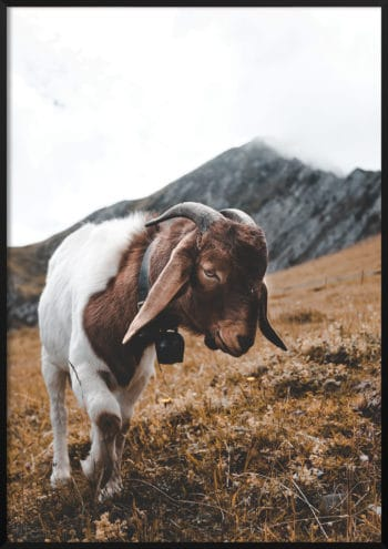 plakat górska kozica