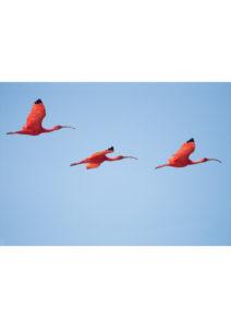 flamingi na niebie