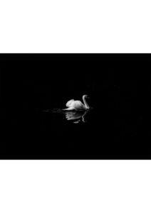 labedz czarno-bialy